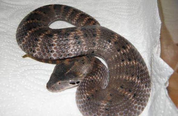 https: img-o.okeinfo.net content 2019 07 30 340 2085202 mengenal-black-adder-ular-beracun-paling-mematikan-di-dunia-yang-tewaskan-bripka-desri-pw5Kv4njHd.JPG