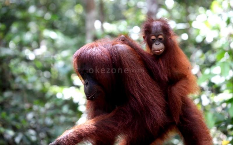 https: img-o.okeinfo.net content 2019 07 31 340 2086088 pelaku-penembak-orangutan-di-aceh-hanya-disanksi-kumandangkan-adzan-jyqxO858cG.jpg