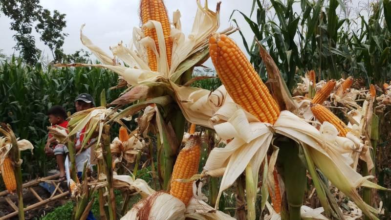 https: img-o.okeinfo.net content 2019 08 23 1 2095918 produksi-dan-kualitas-jagung-indonesia-tidak-kalah-dengan-impor-sncNXLbbl0.jpeg
