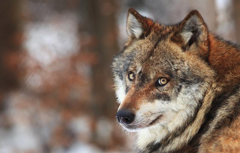 https: img-o.okeinfo.net content 2019 09 05 196 2101048 demi-lindungi-keluarga-pria-ini-rela-dicabik-cabik-serigala-PUvTrFP509.jpg
