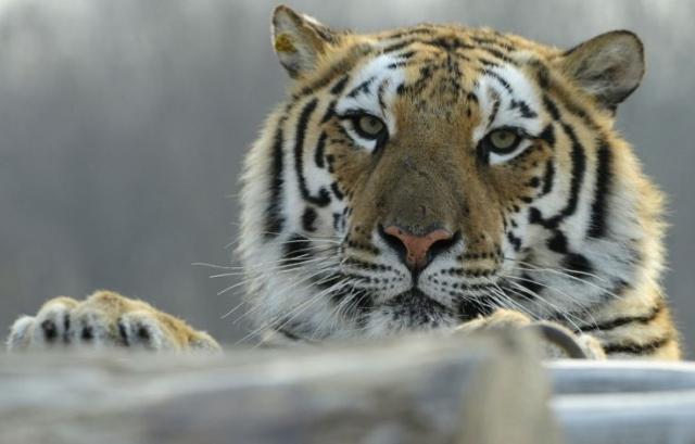 https: img-o.okeinfo.net content 2019 09 09 18 2102626 harimau-sirkus-lompat-keluar-kandang-bikin-penonton-di-china-panik-CBxyAhp02h.jpg