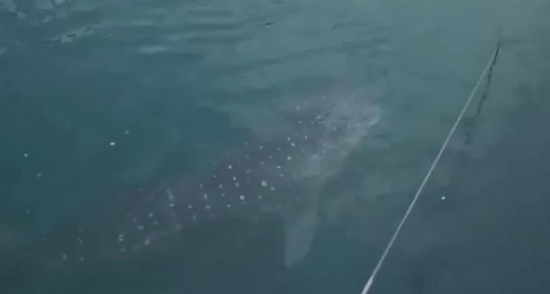 https: img-o.okeinfo.net content 2019 09 20 320 2107341 hiu-paus-yang-tersasar-di-pltu-paiton-ternyata-berstatus-terancam-punah-TBunNLSbXk.jpg
