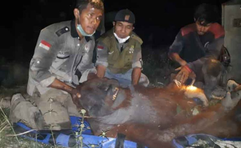https: img-o.okeinfo.net content 2019 09 20 337 2107390 evakuasi-orangutan-terjebak-karhutla-di-kalimantan-berlangsung-dramatis-R2JTeC7osp.jpg