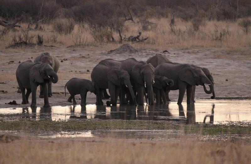 https: img-o.okeinfo.net content 2019 10 22 18 2120197 sedikitnya-55-gajah-mati-kelaparan-akibat-kekeringan-parah-di-zimbabwe-VqszFfbj4C.jpg