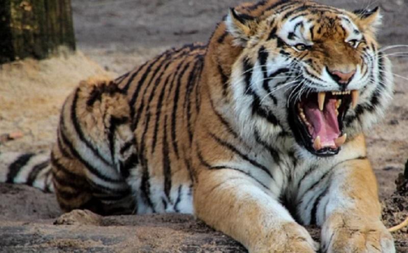 https: img-o.okeinfo.net content 2019 11 14 612 2129747 kamis-mistis-hari-peroleh-taring-harimau-lewat-mimpi-rQFfigpA0b.jpg