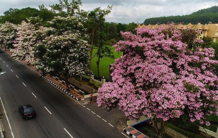 https: img-o.okeinfo.net content 2019 11 23 406 2133595 bunga-tabebuya-di-magelang-mekar-ketiga-kalinya-tahun-ini-cantik-banget-sfHsFEFq0C.jpg