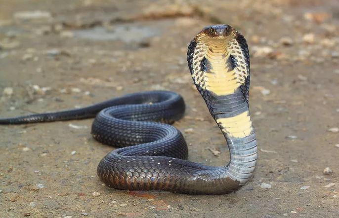 https: img-o.okeinfo.net content 2019 12 20 65 2144213 fakta-ular-kobra-berkeliaran-karena-ekosistem-terganggu-LsFAAgpieV.JPG
