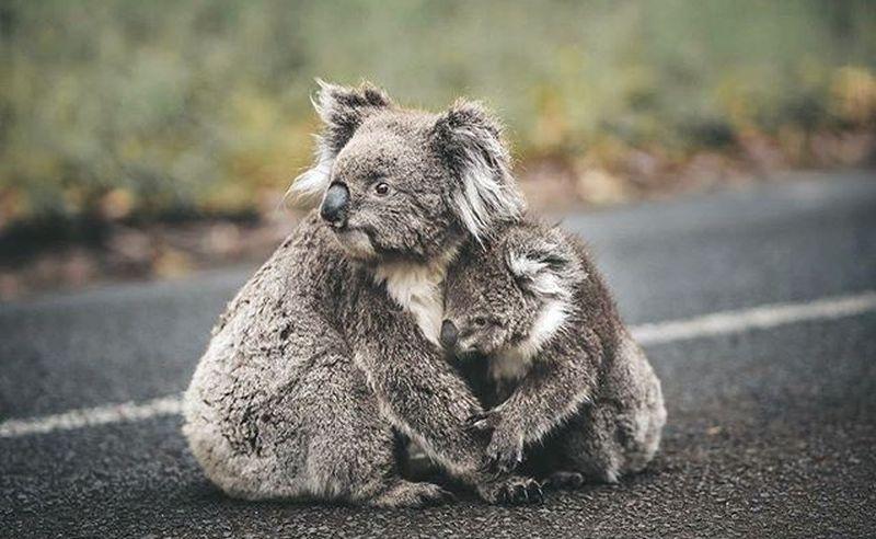 https: img-o.okeinfo.net content 2020 01 09 406 2150980 kebakaran-hutan-di-australia-ribuan-koala-diselamatkan-para-pemadam-r8gbzebI4J.jpg