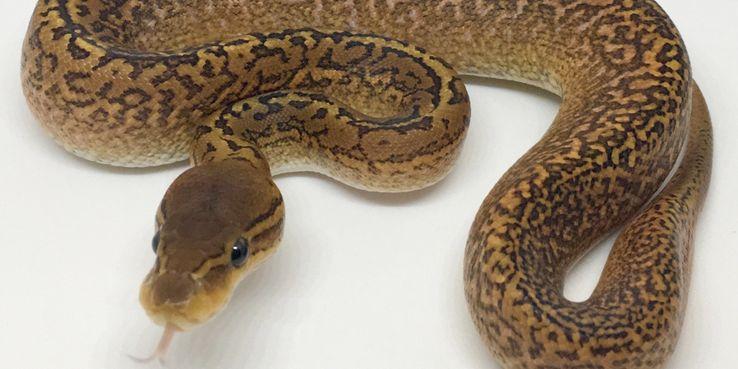 https: img-o.okeinfo.net content 2020 01 24 481 2157548 peneliti-temukan-fakta-baru-virus-korona-wuhan-menyebar-lewat-ular-POxI0djAnq.jpg