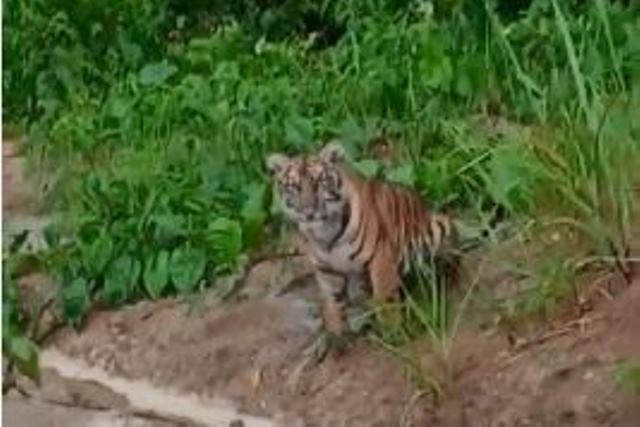 https: img-o.okeinfo.net content 2020 04 05 340 2194401 dua-ekor-harimau-teror-warga-kerinci-di-tengah-pandemi-corona-d2UIwwqm5d.jpg