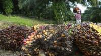 Wih, Produksi Tandan Buah Segar Sawit Eagle High Plantations Cetak Rekor 122.499 Ton.