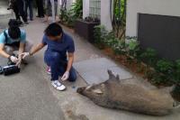Duh! Hendak ke Stasiun, Pria Ini Secara Mengejutkan Diserang Seekor Babi Hutan