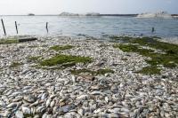 Pasca Ratusan Ton Ikan Mati, Udara Sekitaran Danau Maninjau Kini Tercemar