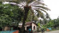 Ternyata Pohon Kurma Bisa Tumbuh & Berbuah di Sumut