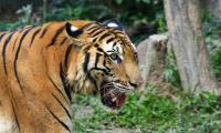 Polisi Gagalkan Penyelendupan Kulit Harimau di Jambi