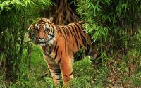 Sulitnya Menangkap Harimau Tersesat di Ruko, Sempat Terbius Tapi Bangkit Lagi