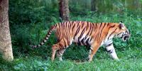 Petugas Temukan Sejumlah Luka di Harimau yang Terjebak di Ruko