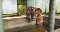 Dikarantina, Harimau Atan yang Tersesat Dalam Ruko Alami Depresi