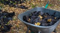 Bagaimana Sepertiga Populasi Kelelawar di Australia Mati dalam Waktu Dua Hari