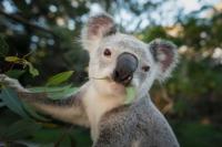 Kendalikan Populasi, Koala di Australia Akan Dipasangi KB