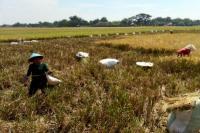 Jelang Panen, Padi Milik Petani Malah Dibabat Pencuri Langsung di Sawah