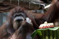 Orangutan Nenette Rayakan Ulang Tahun Ke-50 di Bonbin Paris