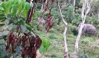 Petugas Kesulitan Relokasi Gajah di Permukiman Warga