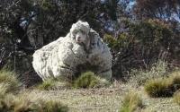 Chris, Domba yang Terkenal karena Memiliki Bulu Terberat Mati