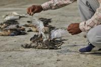 Ribuan Burung Ditemukan Mati Misterius di Tepi Danau India