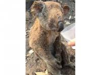Momen Mengharukan Koala yang Terbakar Diberi Minum Seorang Pria