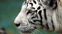 Seorang Wisatawan Diterkam Harimau Putih di Kawasan Gunung Dempo Sumsel