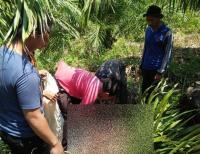 Buruh Kebun Sawit Tewas Mengenaskan Diseruduk Babi Hutan