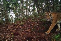 Siswa di Riau Bertemu Harimau saat Berangkat Sekolah
