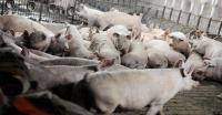 562 Babi di Tabanan Bali Mati Mendadak