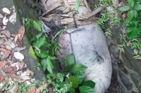 Jumlah Babi Mati di Jembrana Bali Terus Bertambah
