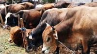Gara-Gara Wabah Corona, Beberapa Ternak di India Diberi Makan Stroberi