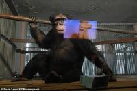 Sedih Sepi Pengunjung Dampak Corona, Simpanse di Rusia Nonton Kartun