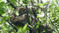 Tagana Vs Ular Sanca, Nangkring di Pohon & Kabur ke Sungai