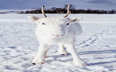 Dilihat dari Dekat, Begini Wajah Rusa Kutub Hewan Peliharaan Sinterklas