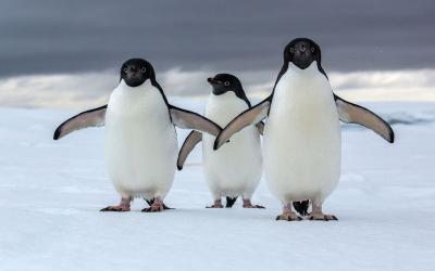 Bersiaplah! Setelah Demam Baby Shark, Kini Giliran Penguin