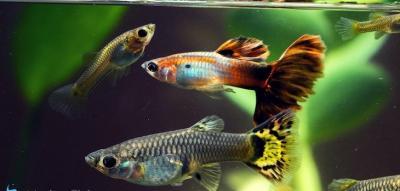 Pencinta Ikan Hias Wajib Merapat, Festival Guppy Internasional Siap Digelar