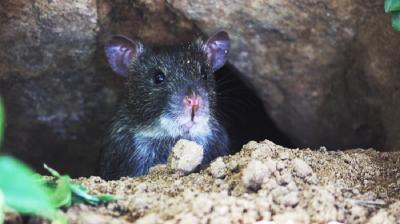 Mimpi Melihat dan Diserang Tikus, Ini Jawaban Perempuan Indigo Furi Harun!