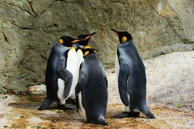 Akhirnya, Pasangan Penguin Homo Ini Berhasil Adopsi Telur