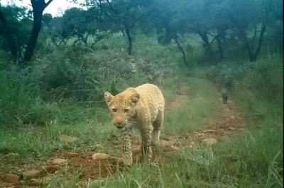 Pertama Kalinya, Macan Tutul Stoberi Tertangkap Kamera di Alam Liar