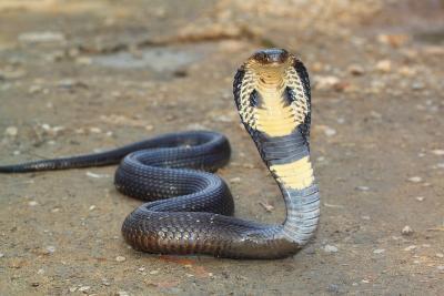 Induk Ular Kobra Ditemukan Sembunyi di Perumahan Grand Depok City