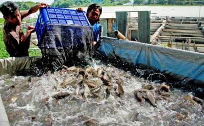 Ternak Ikan Lele Bisa Gagal? Ini Penyebabnya