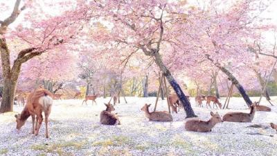 Indahnya Pemandangan Bunga Sakura di Taman Nara saat Pandemi Corona