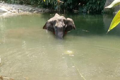 Gajah Hamil Tewas Makan Nanas Berisi Petasan, Dokter: Pilu Saat Lihat Janinnya